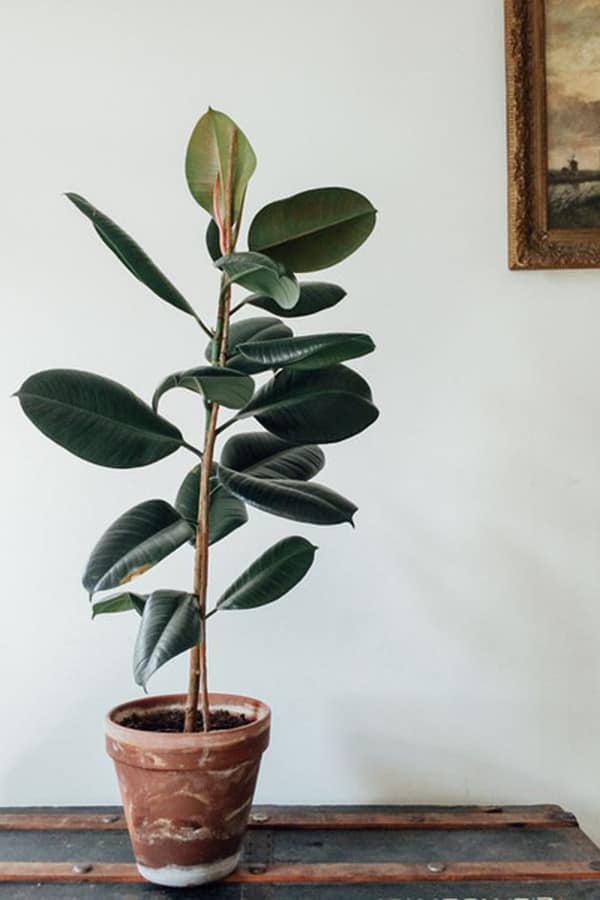 Rubber Plant Indoor Plant